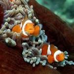 Clownfish_Flickr_BoogiesWithFish
