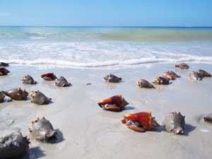 Conchs-on-Bonita-Beach-Fl