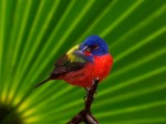 Painted-Bunting-Everglades