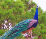 Peacock-in-pine-tree