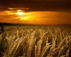 Wheat-Field3
