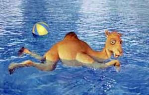 camel-swim