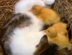 cat-duck22