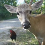 chicken deer one_antler