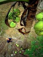 coconut-monkey10