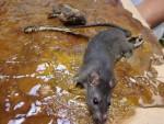 dead-rat19