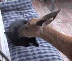 deer-cat9