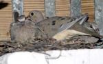 doves_column2_19k