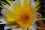 dragonfruit-cactus00