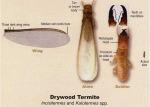 drywood-termite12