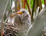 green-heron-chicks16