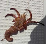 hermit-crab-unshelled