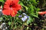 hibiscus-blue