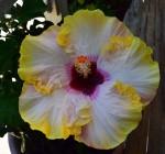 hibiscus-giant16-00