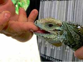 iguana-bite13