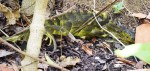 iguana-dead00