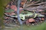 iguana-dead2-00