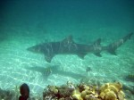 lemon-shark23