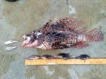lionfish-food3