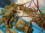 lobster-season2014