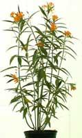 milkweed-plant29