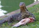 monitor-lizard-fish4