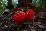 mushroom-red00