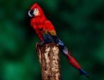 parrot-woman