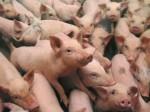 pig-farm-china