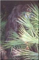 skunkape