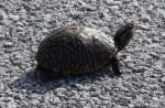 turtle-kdb00