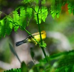 warbler-yellow-bottom00
