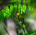 warbler-yellow2-00