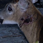 wound buck from fight